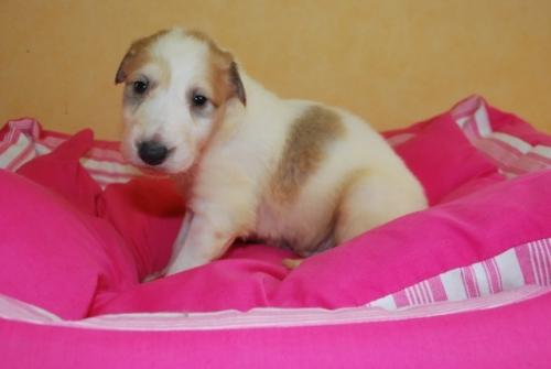 ボルゾイの子犬(ID:1241311123)の1枚目の写真/更新日:2019-04-29