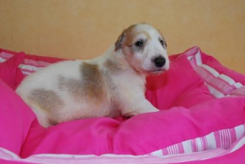 ボルゾイの子犬(ID:1241311123)の2枚目の写真/更新日:2019-04-29