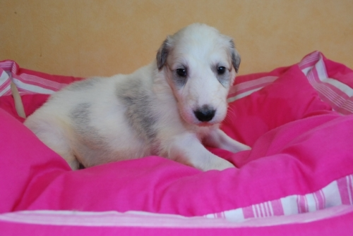 ボルゾイの子犬(ID:1241311124)の1枚目の写真/更新日:2019-05-09