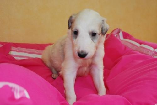 ボルゾイの子犬(ID:1241311124)の2枚目の写真/更新日:2019-05-09