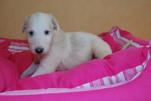 ボルゾイの子犬(ID:1241311141)の1枚目の写真/更新日:2019-04-29