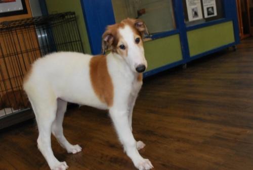ボルゾイの子犬(ID:1241311144)の1枚目の写真/更新日:2019-08-29