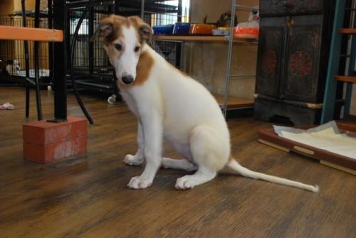 ボルゾイの子犬(ID:1241311144)の2枚目の写真/更新日:2019-08-29