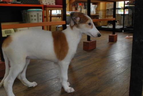 ボルゾイの子犬(ID:1241311144)の3枚目の写真/更新日:2019-08-29