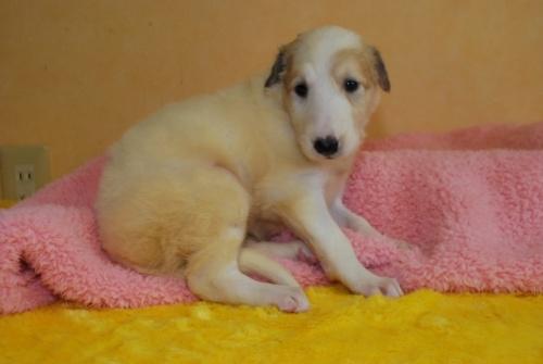 ボルゾイの子犬(ID:1241311147)の1枚目の写真/更新日:2019-07-08