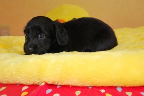 ミニチュアダックスフンド(ロング)の子犬(ID:1241311163)の2枚目の写真/更新日:2019-08-20