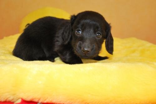 ミニチュアダックスフンド(ロング)の子犬(ID:1241311163)の3枚目の写真/更新日:2019-08-20