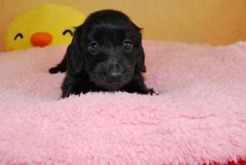 ミニチュアダックスフンド(ロング)の子犬(ID:1241311164)の1枚目の写真/更新日:2019-08-20