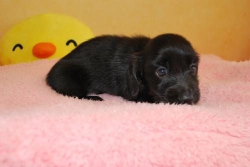 ミニチュアダックスフンド(ロング)の子犬(ID:1241311164)の3枚目の写真/更新日:2019-08-20