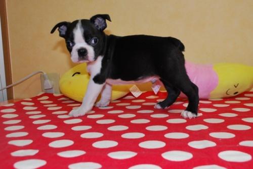 ボストンテリアの子犬(ID:1241311170)の1枚目の写真/更新日:2019-08-16