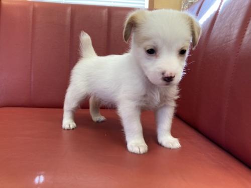 ジャックラッセルテリアの子犬(ID:1241311180)の1枚目の写真/更新日:2018-06-15