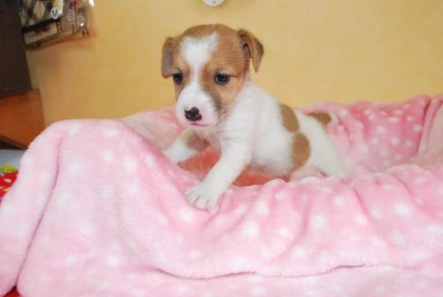 ジャックラッセルテリアの子犬(ID:1241311181)の2枚目の写真/更新日:2018-06-03