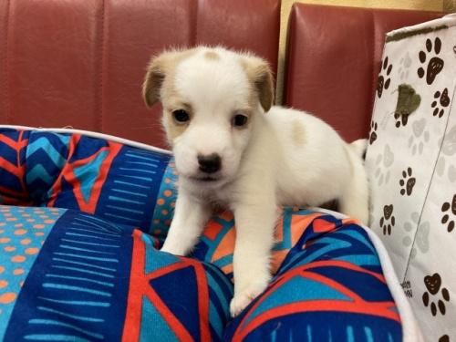 ジャックラッセルテリアの子犬(ID:1241311182)の1枚目の写真/更新日:2021-04-19
