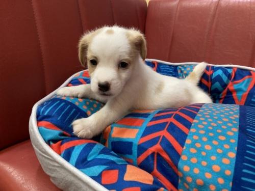 ジャックラッセルテリアの子犬(ID:1241311182)の2枚目の写真/更新日:2021-04-19
