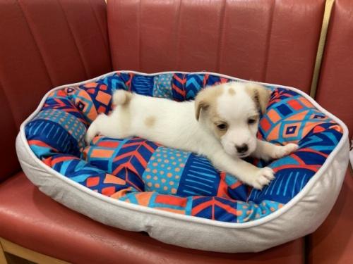 ジャックラッセルテリアの子犬(ID:1241311182)の3枚目の写真/更新日:2021-04-19