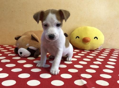 ジャックラッセルテリアの子犬(ID:1241311183)の1枚目の写真/更新日:2018-06-03