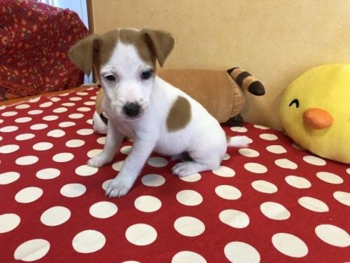 ジャックラッセルテリアの子犬(ID:1241311183)の2枚目の写真/更新日:2018-06-03