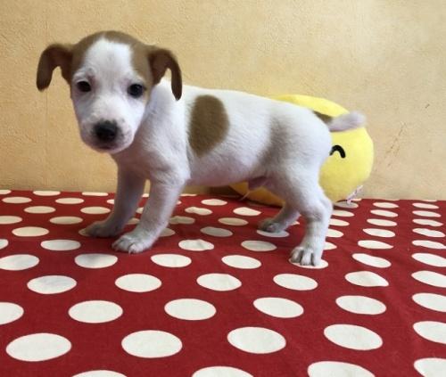 ジャックラッセルテリアの子犬(ID:1241311183)の3枚目の写真/更新日:2018-06-03