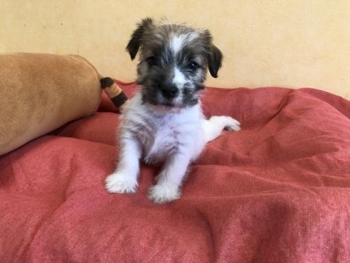 ジャックラッセルテリアの子犬(ID:1241311184)の1枚目の写真/更新日:2018-06-15