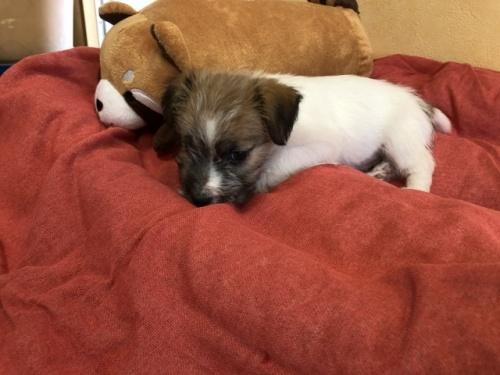 ジャックラッセルテリアの子犬(ID:1241311184)の3枚目の写真/更新日:2018-06-15