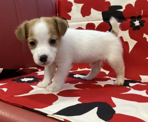 ジャックラッセルテリアの子犬(ID:1241311185)の2枚目の写真/更新日:2018-10-22