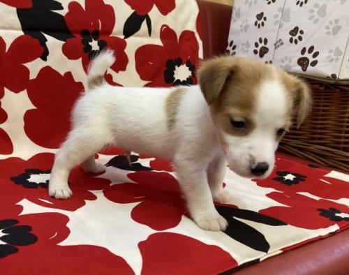 ジャックラッセルテリアの子犬(ID:1241311185)の3枚目の写真/更新日:2018-10-22