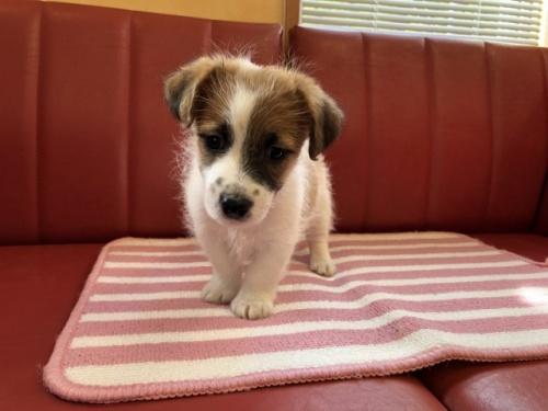 ジャックラッセルテリアの子犬(ID:1241311186)の1枚目の写真/更新日:2018-10-15