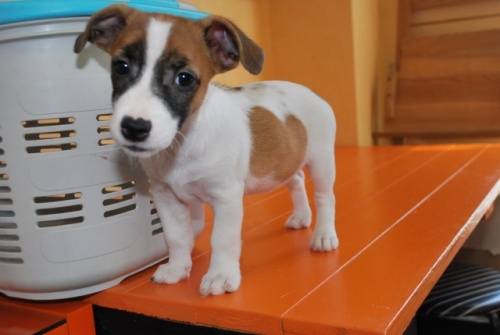ジャックラッセルテリアの子犬(ID:1241311188)の1枚目の写真/更新日:2018-07-02