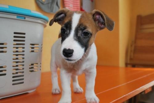 ジャックラッセルテリアの子犬(ID:1241311188)の3枚目の写真/更新日:2018-07-02