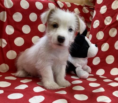 ジャックラッセルテリアの子犬(ID:1241311189)の1枚目の写真/更新日:2018-07-02