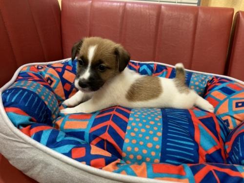 ジャックラッセルテリアの子犬(ID:1241311190)の2枚目の写真/更新日:2018-08-27