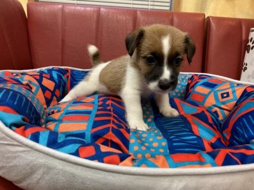 ジャックラッセルテリアの子犬(ID:1241311190)の3枚目の写真/更新日:2018-08-27