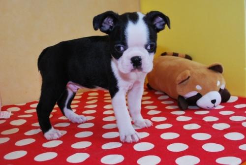 ボストンテリアの子犬(ID:1241311191)の2枚目の写真/更新日:2019-08-16