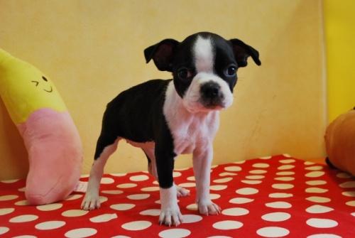 ボストンテリアの子犬(ID:1241311192)の1枚目の写真/更新日:2019-08-16
