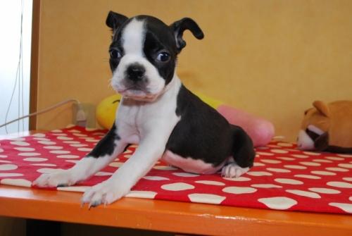 ボストンテリアの子犬(ID:1241311192)の2枚目の写真/更新日:2019-08-16