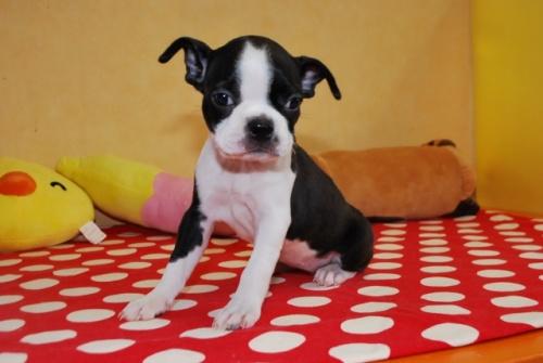 ボストンテリアの子犬(ID:1241311192)の3枚目の写真/更新日:2019-08-16