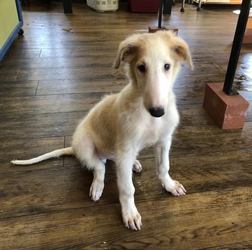 ボルゾイの子犬(ID:1241311195)の1枚目の写真/更新日:2020-09-22