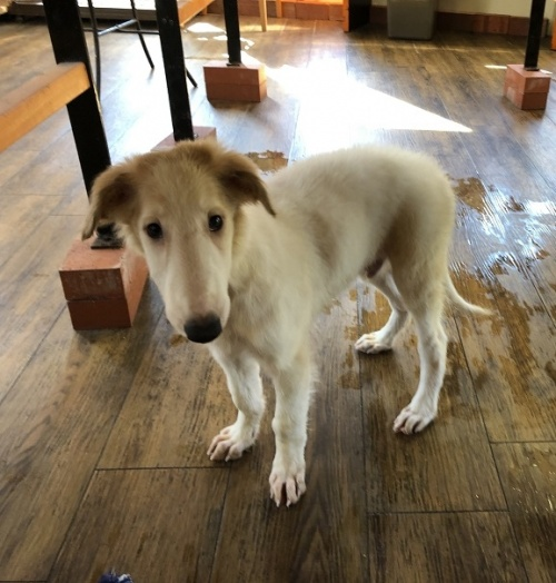 ボルゾイの子犬(ID:1241311195)の2枚目の写真/更新日:2020-09-22