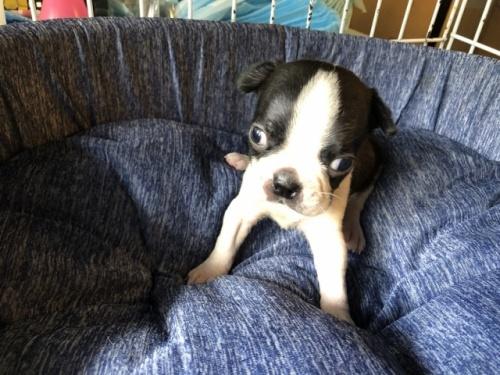 ボストンテリアの子犬(ID:1241311209)の1枚目の写真/更新日:2020-10-12