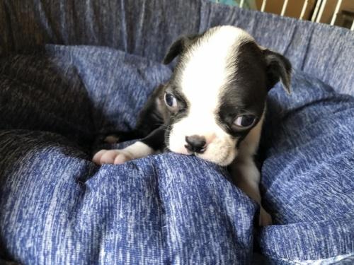 ボストンテリアの子犬(ID:1241311210)の1枚目の写真/更新日:2020-10-12