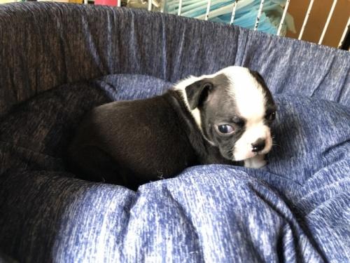 ボストンテリアの子犬(ID:1241311210)の3枚目の写真/更新日:2020-10-12