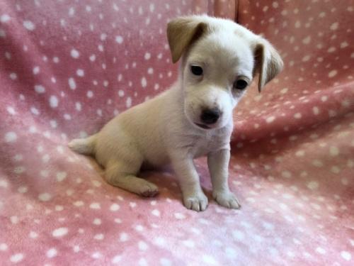 ジャックラッセルテリアの子犬(ID:1241311215)の1枚目の写真/更新日:2021-07-21
