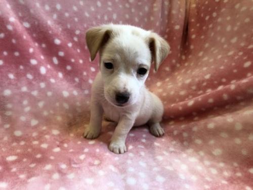 ジャックラッセルテリアの子犬(ID:1241311215)の2枚目の写真/更新日:2021-07-21