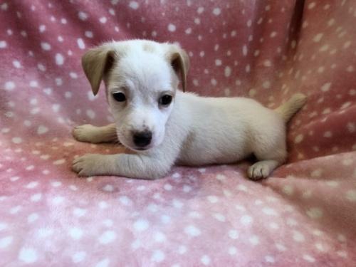 ジャックラッセルテリアの子犬(ID:1241311215)の3枚目の写真/更新日:2021-07-21
