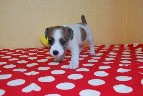 ジャックラッセルテリアの子犬(ID:1241311216)の3枚目の写真/更新日:2018-10-02