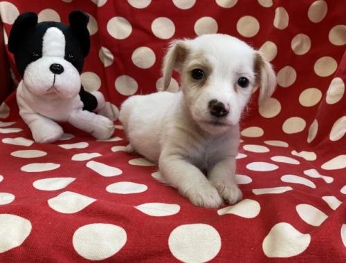 ジャックラッセルテリアの子犬(ID:1241311217)の1枚目の写真/更新日:2018-10-02