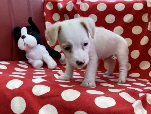 ジャックラッセルテリアの子犬(ID:1241311217)の3枚目の写真/更新日:2018-10-02