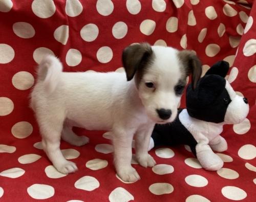 ジャックラッセルテリアの子犬(ID:1241311218)の3枚目の写真/更新日:2021-07-21