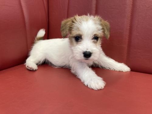 ジャックラッセルテリアの子犬(ID:1241311219)の1枚目の写真/更新日:2018-10-15
