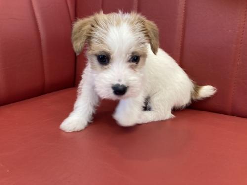 ジャックラッセルテリアの子犬(ID:1241311219)の3枚目の写真/更新日:2018-10-15